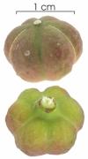 Sapium  glandulosum