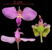 Securidaca diversifolia flower