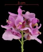 Securidaca diversifolia Inflorescence