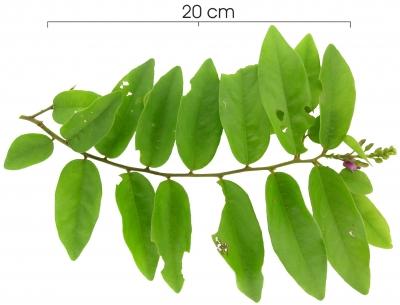 Securidaca diversifolia flower plant