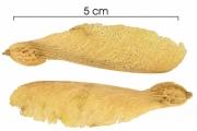 Securidaca diversifolia fruit