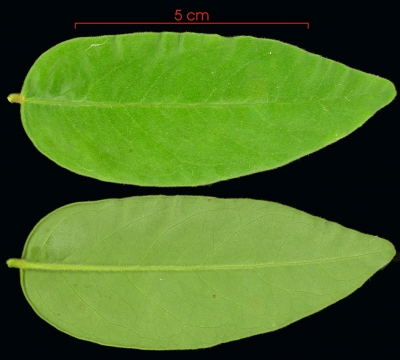 Securidaca diversifolia leaf
