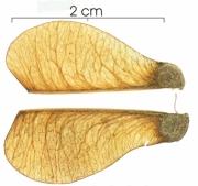 Serjania atrolineata fruit