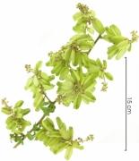 Serjania atrolineata immature-Infructescences
