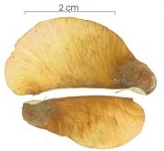 Serjania circumvallata fruit