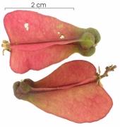 Serjania circumvallata immature-fruit
