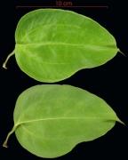 Smilax spinosa leaf