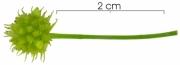Smilax spissa Inflorescence buds