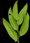 Smilax spissa flower-bud plant