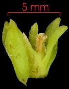 Smilax spissa flower