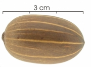 Gnetum leyboldii seed-dry