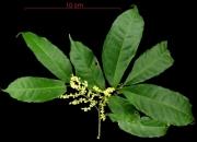Sorocea affinis flower plant