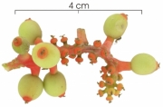 Sorocea affinis immature-Infructescences