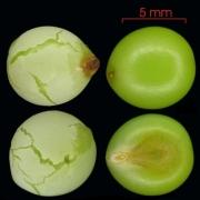 Sorocea affinis seed-wet