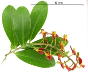 Souroubea sympetala flower plant