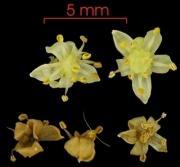 Spondias radlkoferi flower