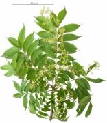 Spondias radlkoferi flower plant