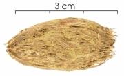 Spondias radlkoferi seed-dry
