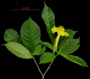 Stemmadenia grandiflora flower plant