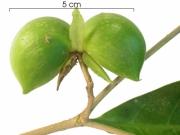Stemmadenia grandiflora immature-fruit