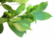 Stemmadenia grandiflora immature-fruit plant