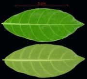 Stemmadenia grandiflora leaf