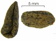 Stemmadenia grandiflora seed-wet