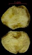 Strychnos darienensis seed-wet