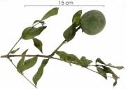 Strychnos panamensis immature-fruit plant