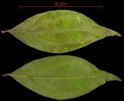 Strychnos panamensis leaf