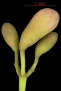 Tabebuia rosea Inflorescence buds