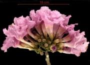 Tabebuia rosea Inflorescence