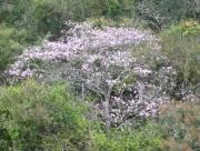 Tabebuia rosea flower plant