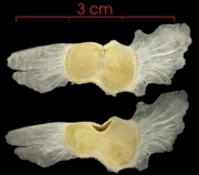 Tabebuia rosea seed-wet