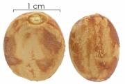Talisia nervosa seed-dry