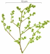 Tetracera hydrophila Inflorescence buds