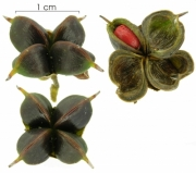 Tetracera hydrophila fruit