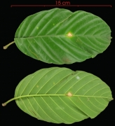 Tetracera hydrophila leaf