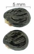 Tetracera hydrophila seed-dry