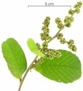 Tetracera portobellensis flower-bud plant