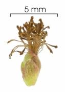Tetracera portobellensis flower
