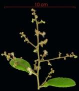 Tetracera portobellensis flower plant
