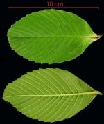 Tetracera portobellensis leaf