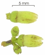 Tetragastris panamensis flower