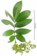 Tetragastris panamensis flower plant