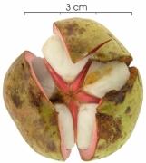 Tetragastris panamensis fruit