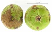 Tetragastris panamensis immature-fruit