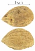 Tetragastris panamensis seed-dry