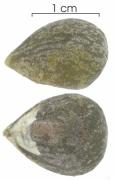 Tetragastris panamensis seed-wet