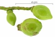 Tetrathylacium johansenii immature-fruit